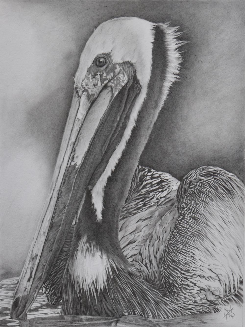 Brown Pelican #1