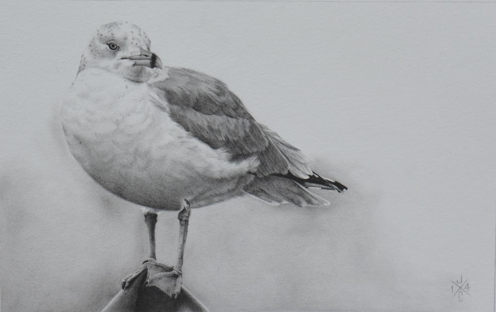 Ring-Billed Gull #1