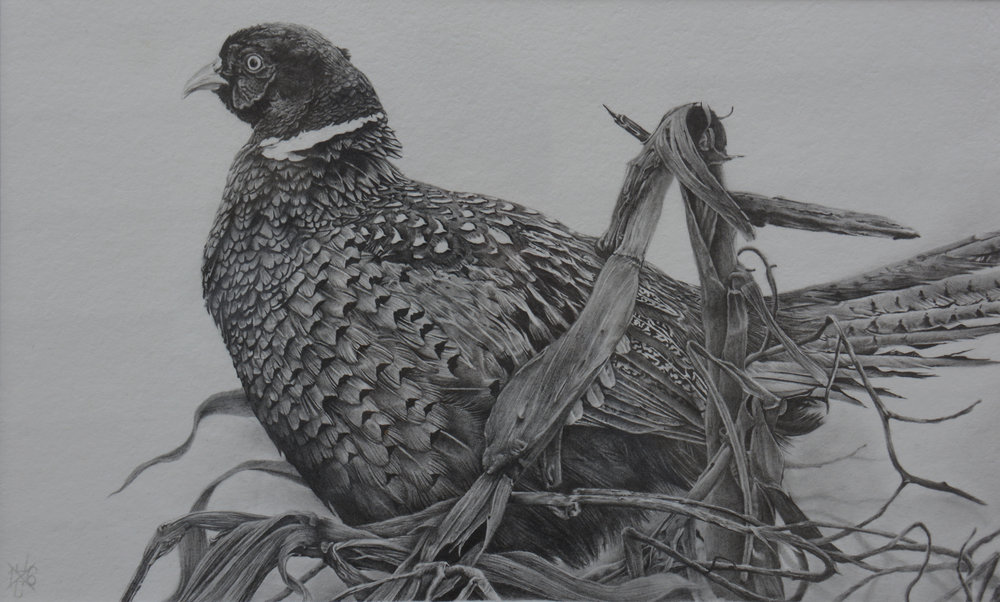 Ring-Necked Pheasant #1