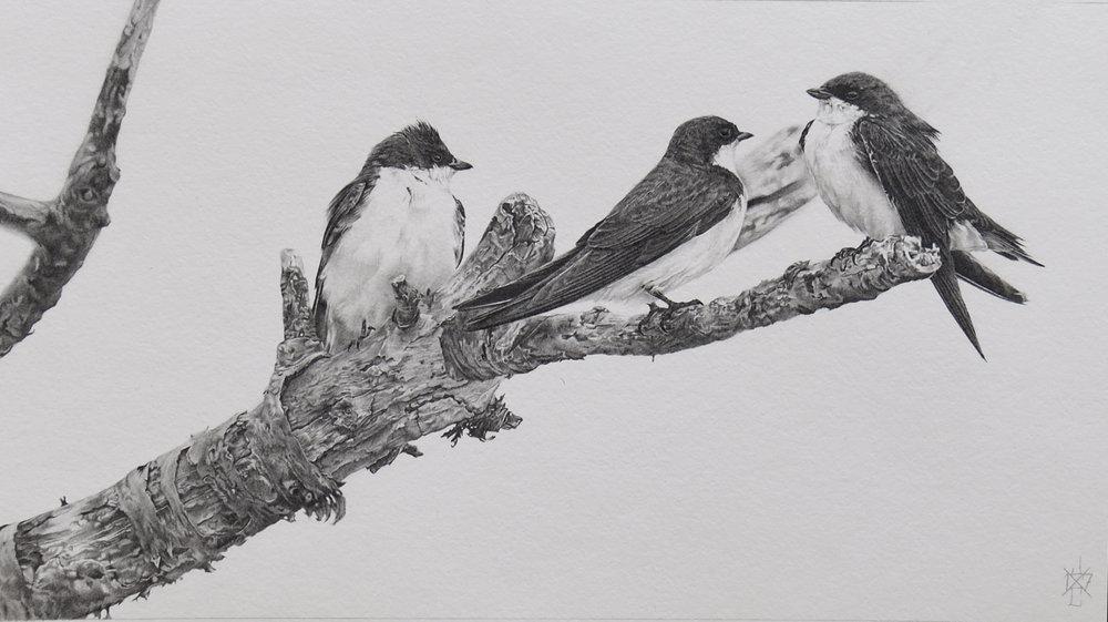 Tree Swallows #1
