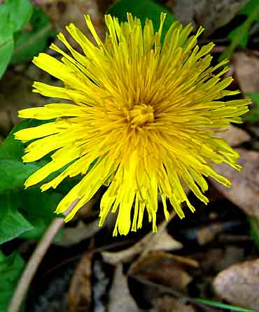Did you know that sunny happy Dandelion is a great blood purifier?  Plus it's delicious too! :-)