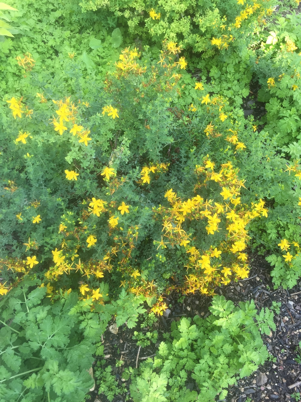 A patch of St. John's Wort and a bit of Feverfew too.