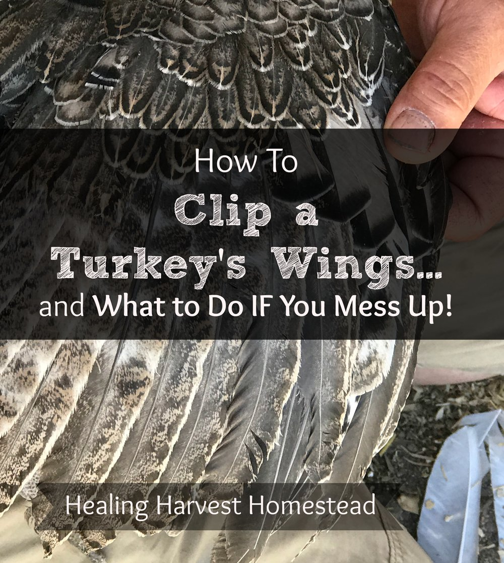 How to Clip a Turkey\'s Feathers...and What to Do if You Mess Up ...
