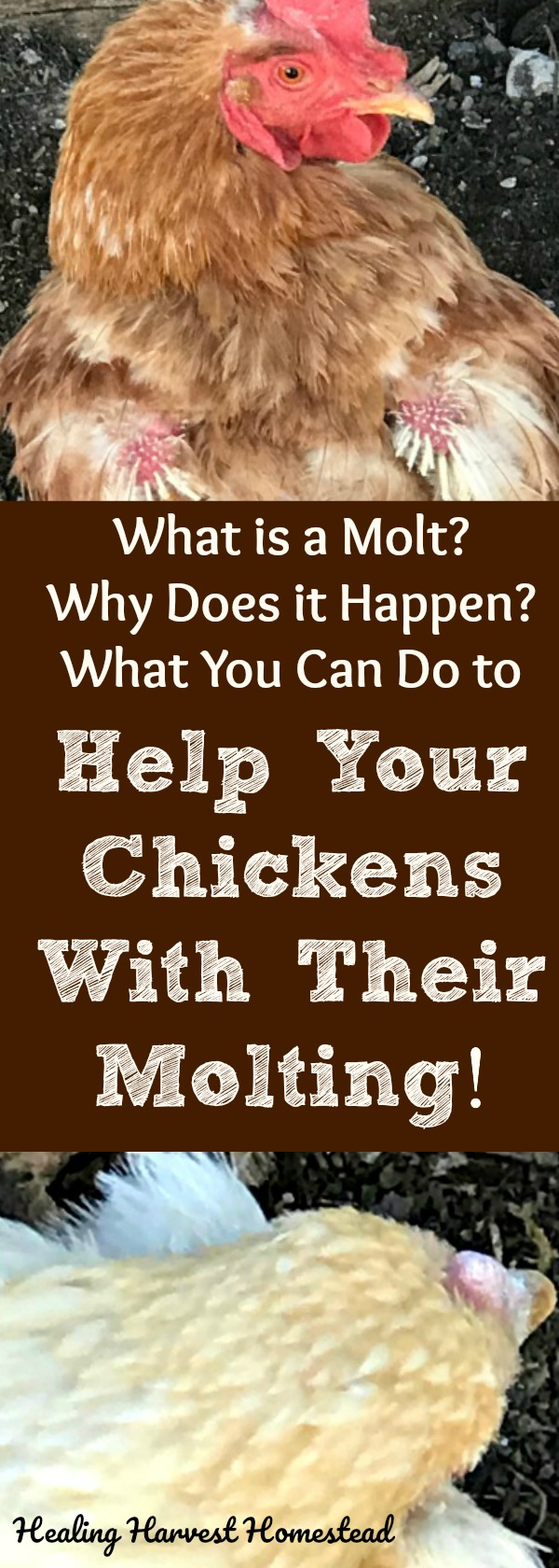 Seeing a sweet chicken during its molt can be traumatic and worrisome! They're so....bald! And it looks like it hurts! Here's what you need to know about what happens during a chicken's molt, why the molt occurs in the first place, and finally---what you can do to help your chicken during the molting phase.