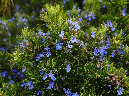 Rosemary helps mental function, memory, and focus!
