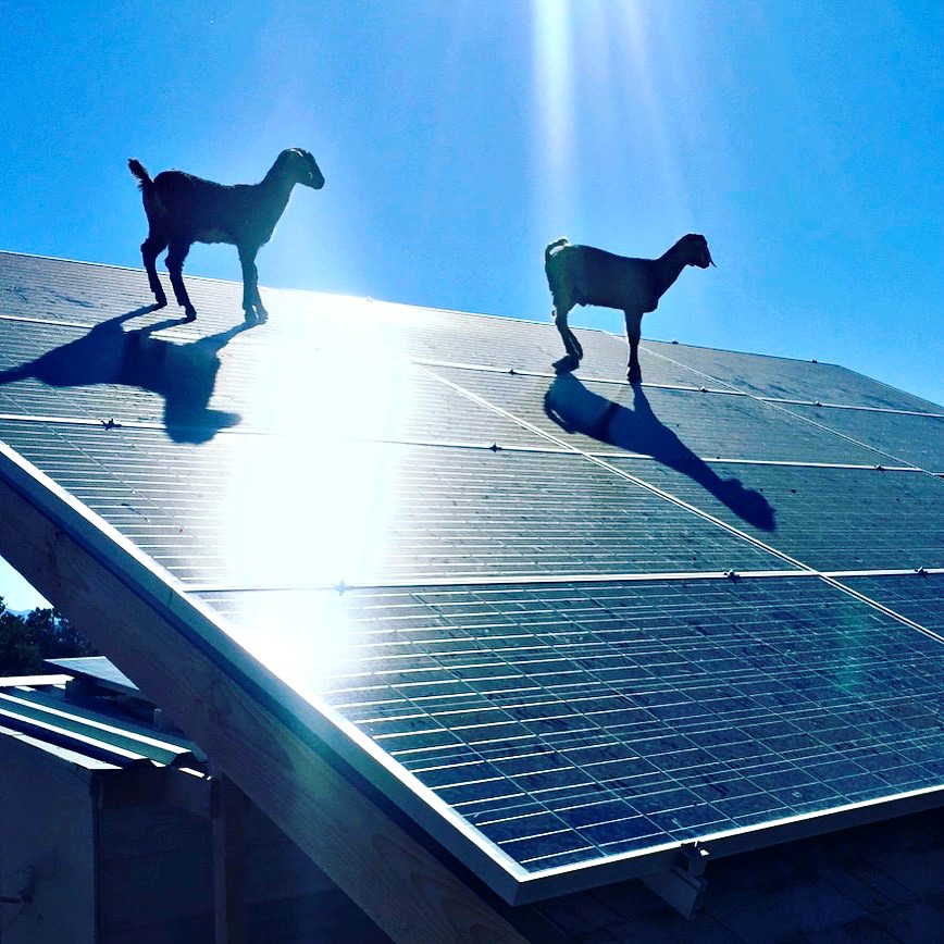Here are the babies last Spring. They found a way to climb onto our solar panels! YIKES! These little goats have found a permanent place in my heart---I love them! They always make me happy!
