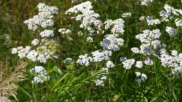 Here is Yarrow. The medicinal species is white, although the colored species will also have benefits. If you don't have it around, you can purchase  Yarrow in bulk  or as a  tincture.