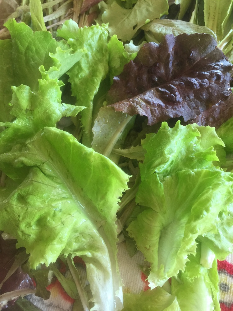 Here's some fresh picked lettuce from the garden.