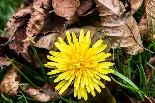 Simple, sweet Dandelion is a absolutely excellent liver cleanser.