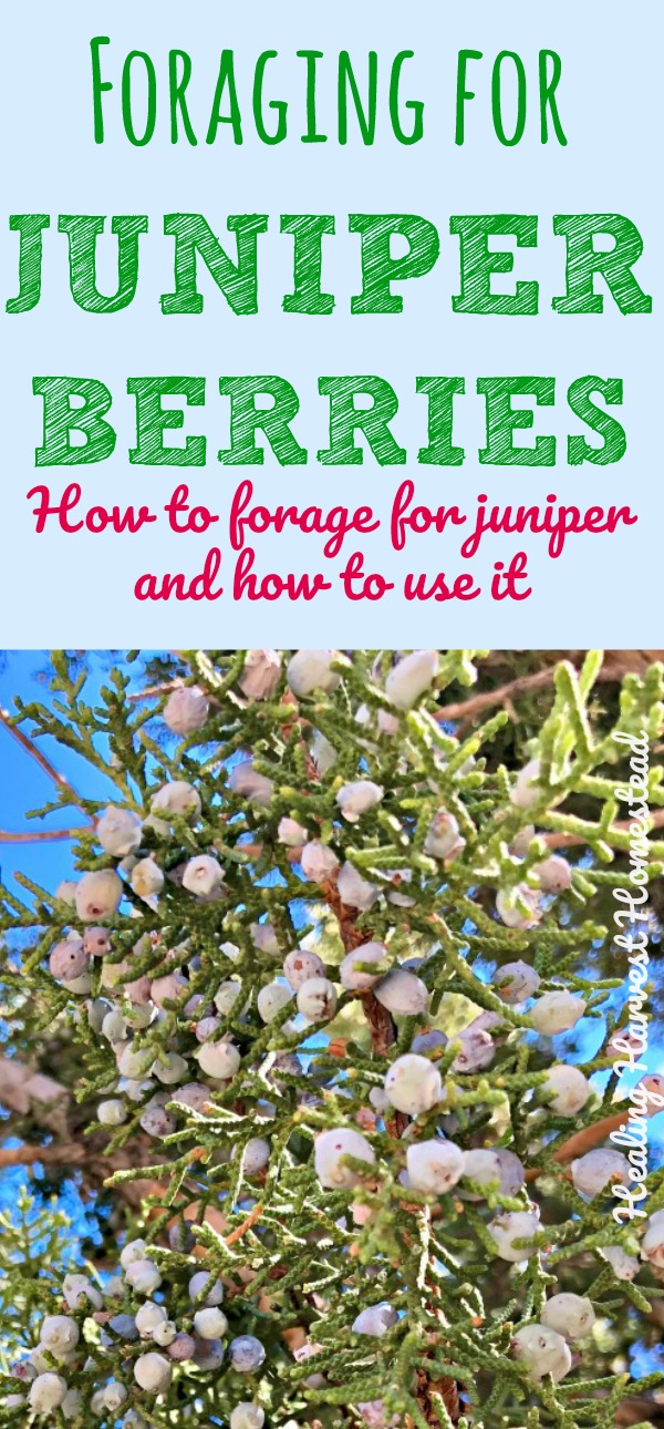 How to forage for wild juniper berries and leaves. Find out the benefits and uses of juniper, how to find it, how to forage it, and how to use it! Juniper has many uses---Juniper is a useful plant medicine to forage and use!