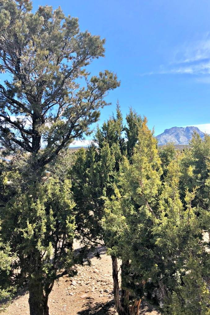 This is my backyard. The tree on the left is a Pinion, and the tree on the right is a Juniper. These two trees often grow in a very symbiotic relationship in what is known as a Pinion-Juniper belt. It's a very special ecosystem.