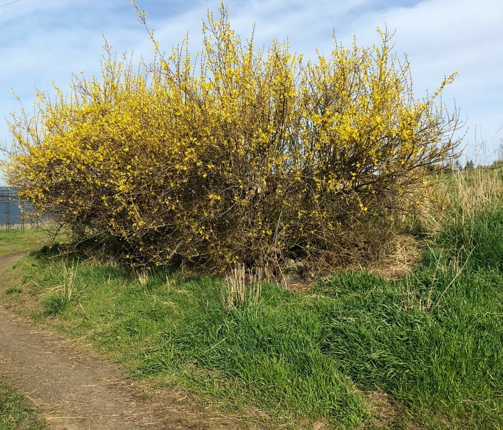 "Here is Forsythia. This is actually two large ""trees"" that really look like large shrubs---I'll be pruning them after the flowers die off."