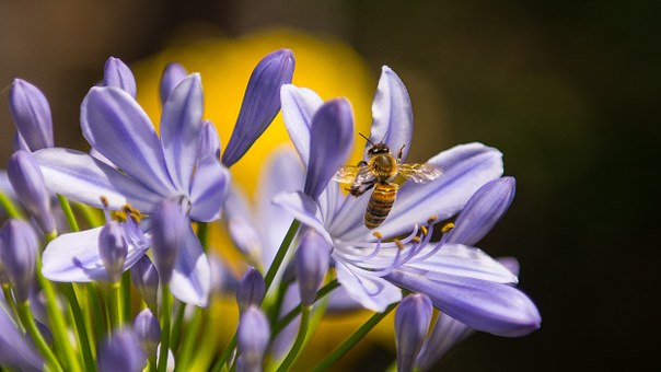 Bees gather pollen and nectar from flowers, and these are the raw ingredients for the honey they make.