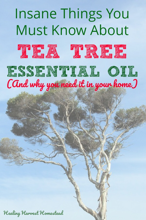 Find out about the benefits and uses of tea tree essential oil right here. It's great for so many things, and I'll explain how to use it for acne, fungal infections (even your toenails), cleaning, lice, and lots more! Everyone needs tea tree essential oil in their home! #teatree #teatreeessentialoil #benefitsofteatree #usesofteatreeoil