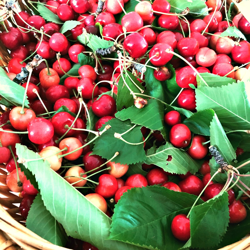Look at those fresh cherries, right out of the tree!