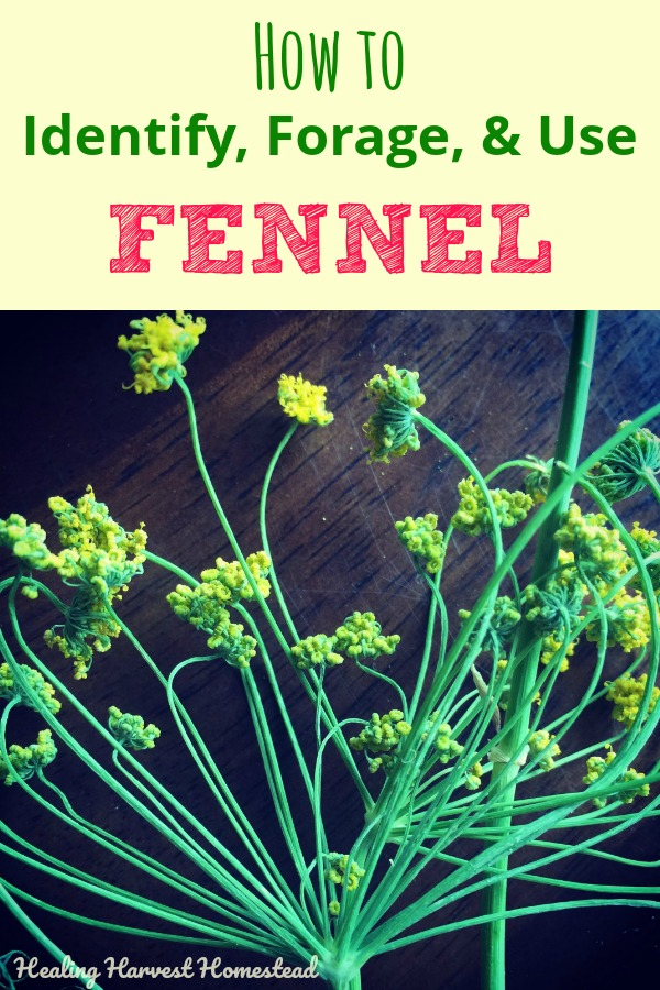 Fennel: Find out how to identify this wild plant. How to forage and prepare fennel, and how to use it. Fennel recipes included! How to make fennel candy, use in cooking and desserts. Also--how to use fennel medicinally. If you have this herb growing near you, you are so lucky! #fennel #fennelrecipe #herbalism #herb #foraging #edible #wildplant #medicinalplant #medicinal