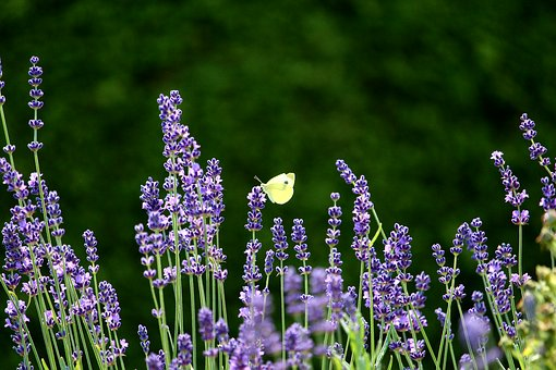 Lavender is such a beautiful, fragrant flower.