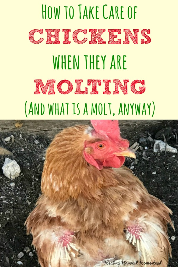 Why is my chicken ugly? My hens were losing their feathers, and it was not a pretty sight. Here is why your chickens lose feathers. It's their molting season. Here is an explanation of what molting is, what you can do to help your hen, and how long molting will take. Cause you don't want a bald chicken!#chickens #chicken #molting #molt #moltingseason #howtohelpchickens #whatismolting #losingfeathers #takecareofchickens #chickencare