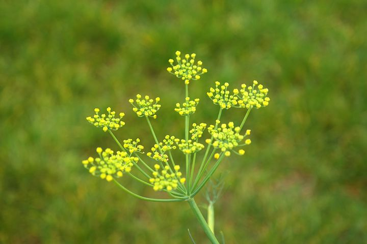 Gorgeous fennel---an excellent anti-spasmodic soothing herb.