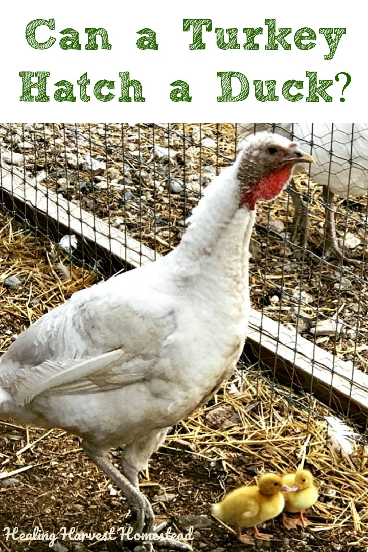 Have you ever wondered if a turkey can hatch a duck? Or if a chicken can hatch a turkey? Or if any poultry can hatch an egg that's not of it's own kind? Well, find out the answer to that burning question. If you are raising chickens, turkeys, ducks, or other poultry, this is good information to know. #hatch #turkey #chicken #duck #broodyhen #sittingoneggs