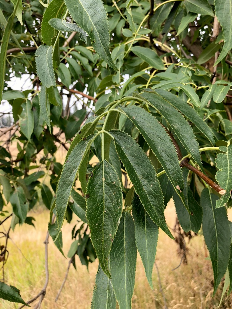 Here are the leaves of a very mature Elder tree.