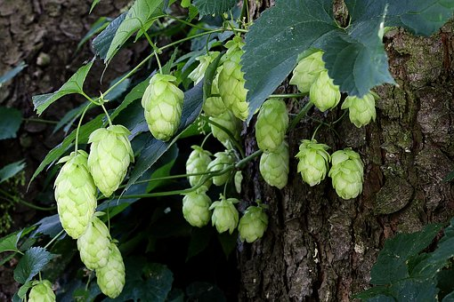 Hops strobiles—-a bitter mild relaxant often used for beer making. In this tincture it provides a nice balance to the valerian.
