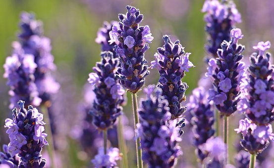 Beautiful lavender has a unique flavor that offsets the other herbs in this tincture. It's also soothing and relaxing.
