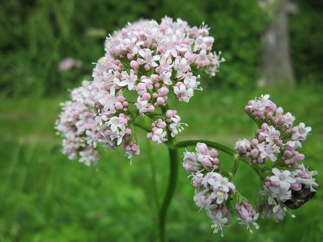 Valerian flowers—they are so pretty and smell great too. But the root is the part used in herbal medicine.