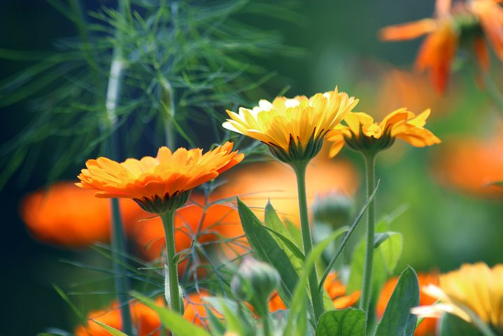 Calendula is one of my top favorite flowers of all time. Not only is it beautiful, it's easy to grow and produces some amazing color in your homemade body products. It's also so good for your skin.