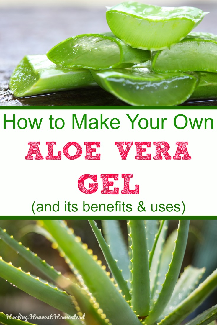 Aloe vera gel: Directions for how to make it, how to use it, and how to grow it, all right here! Aloe is one of the most useful plants you can have in your home. Find out about the benefits and uses of aloe vera gel, and how easy it is to make yourself! #aloe #howtogrow #howtouse #aloeveragel #howtomake #benefits #uses #healingharvesthomestead