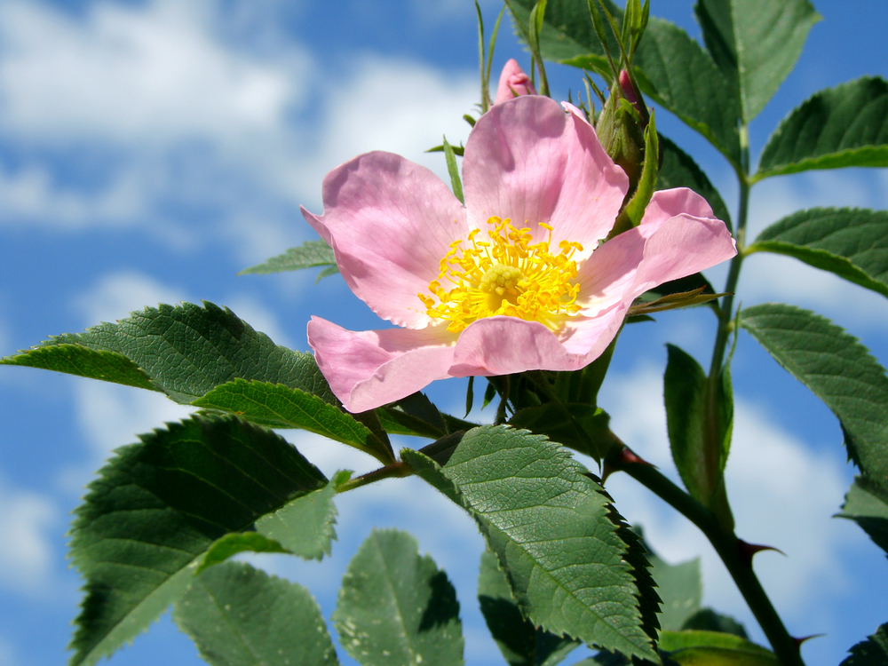 Here is a wild rose flower. If you see these in the spring or early summer, then you know rose hips aren't far behind!