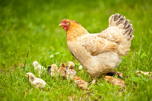 Many homesteaders keep chickens, some in the backyard! Chickens provide fresh eggs that are not tainted by the stress hormones or issues of factory farmed chickens. (Read  Don't Eat That Meat! )