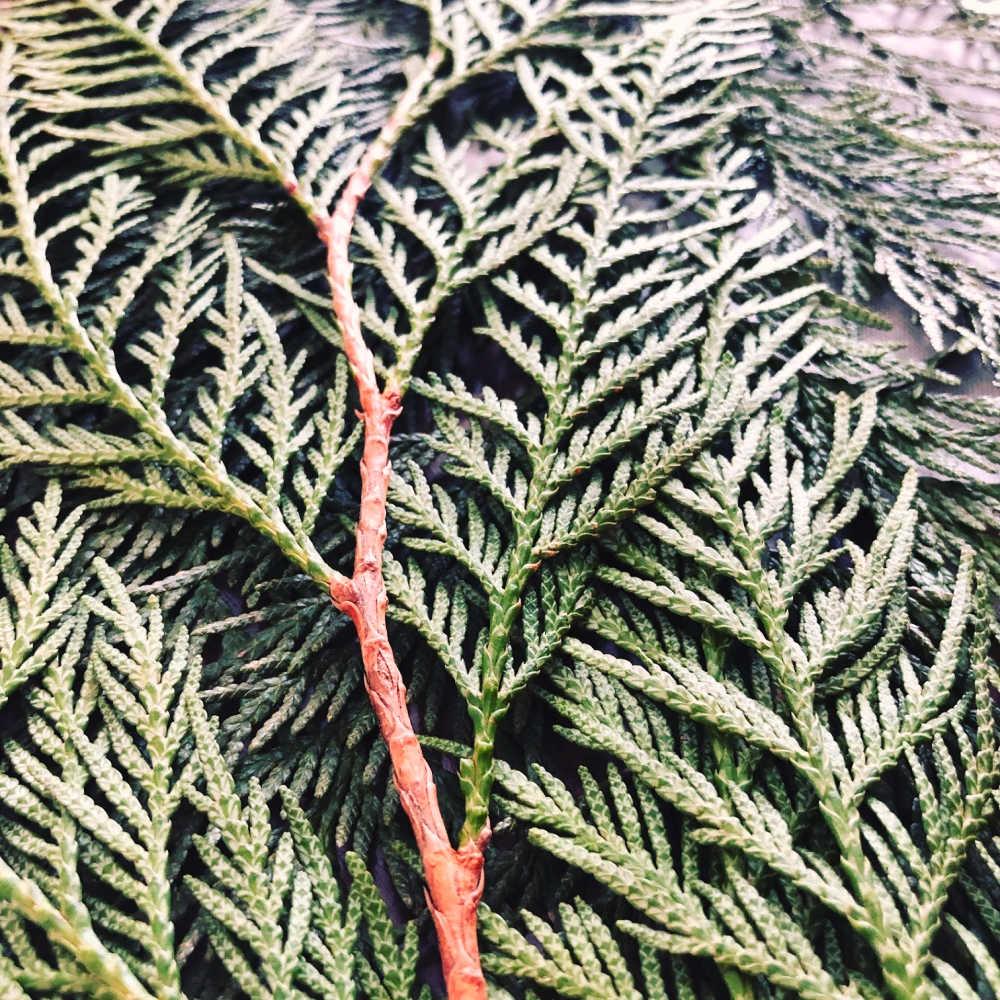 Pic W Cedar Leaves.jpg