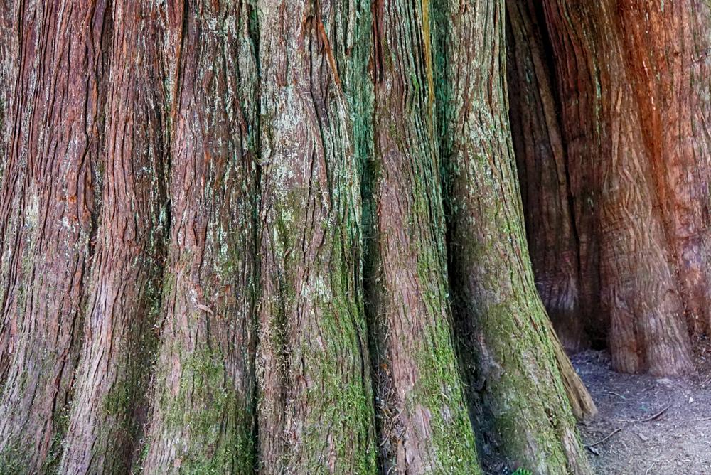Pic W Cedar Bark.jpg