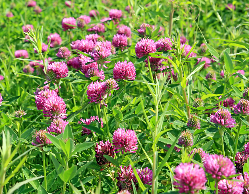 Beautiful Red Clover (Trifolium pratense) growing in a field.