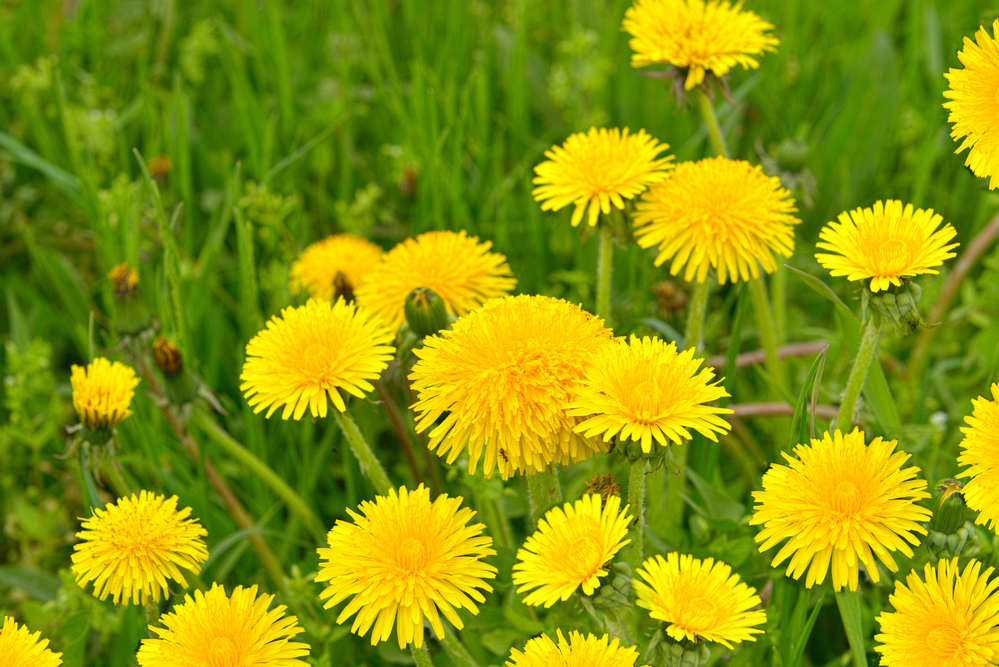 Dandelion's sunny face is not only cheerful, but this is an herb for your health!