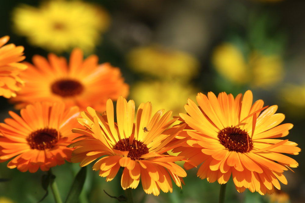 Calendula is a favorite herb for so many uses, both external and internal.