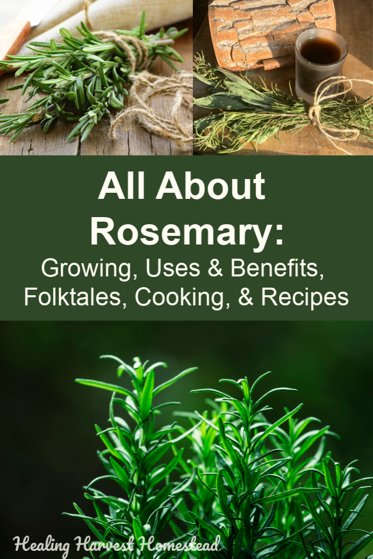 Find out all about rosemary: how to grow it; herbal actions; benefits; medicinal and cosmetic uses; cleaning; and of course, cooking with rosemary! Recipes included! If you've never used this herb, you need to start because it's one of the most useful herbs on our earth. I've also included some fun folktales about rosemary as well—-and why you need it in your home for protection. #rosemary #uses #benefits #cookingwith #medicinal #health #brain #cleaners #diy #folktales #healingharvesthomestead