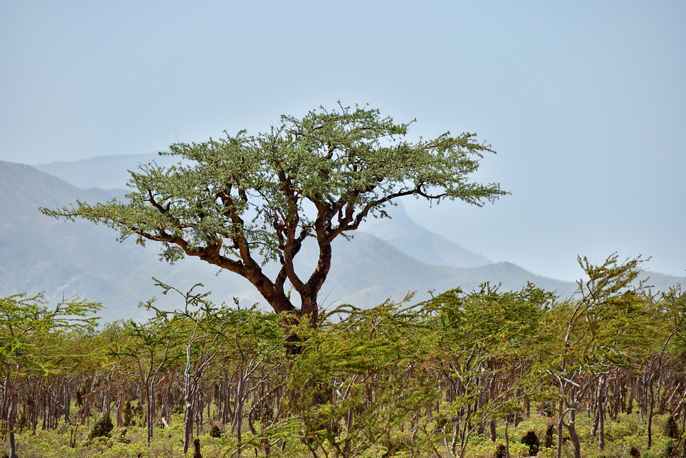 This is a Boswellia tree, where frankincense tears and the essential oil, come from.