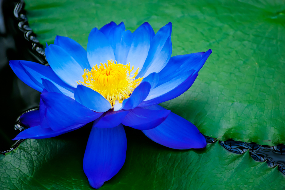 The blue water lily:  Nymphaea ceruleae  (blue water lily) has the same species name as  Sambucus cerulea  (blue elderberry), yet they are completely different plants altogether.