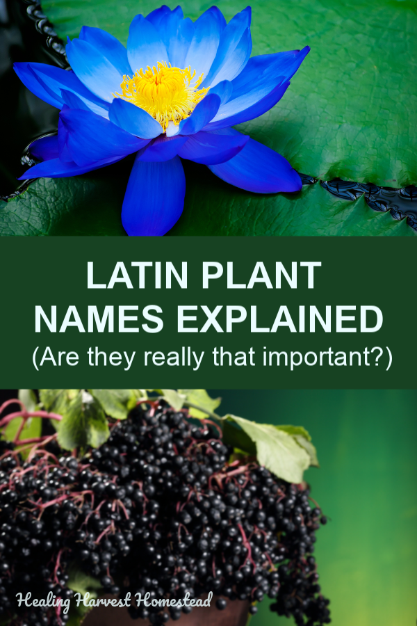 Are those fancy Latin plant names really necessary? Find out all about what they are, what they mean, and how to use them correctly. Binomial classification has a place, and if you want to be an herbalist, you'll need to understand these! #latin #latinnames #plantnames #whatare #doesitmean #healingharvesthomestead