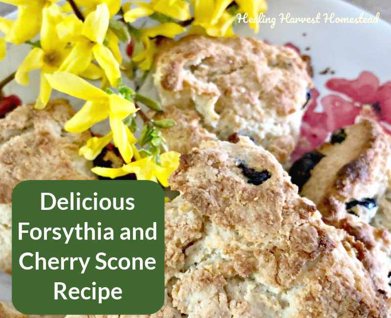 Forsythia Cherry Scones A Delicious Healthy Breakfast Treat Here