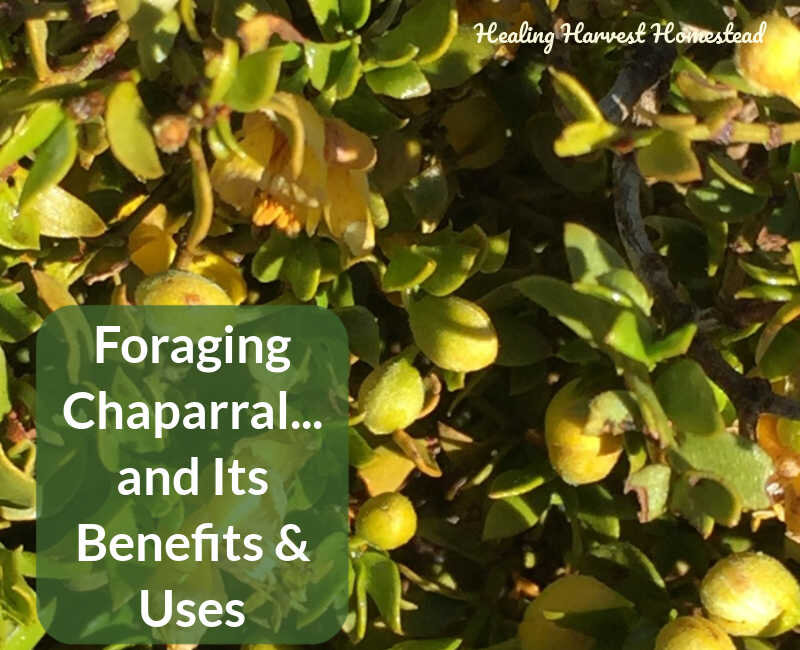Foraging For Chaparral A Southwest Desert Shrub With Amazing Powers