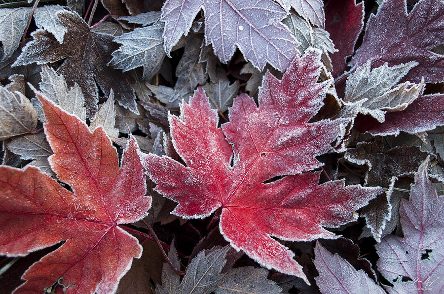 frosted-maple-leaves-aaron-spong