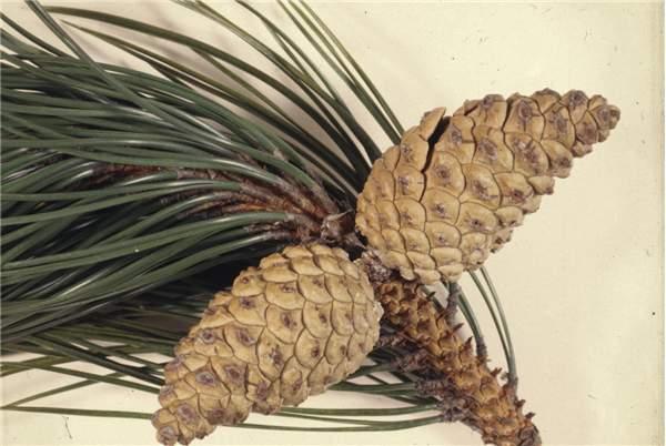 Pinus pinaster cones 41668