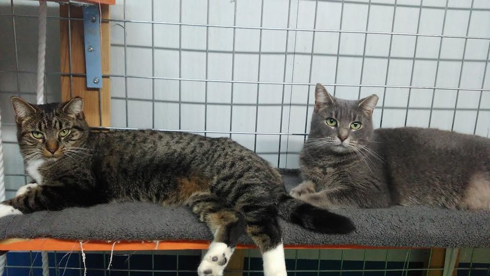 Flora and Aurora; a bonded pair from the streets who had an ear clipped to show they were nurtured when found. Something the shelter does NOT encourage.