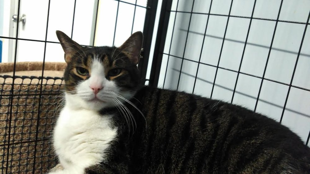 This funny guy was called Elf and was recently adopted! He had so much personality: he was 6 year old and unfortunately, declawed previously on his front paws. Upon adopting, the Humane Society advises the new owners NOT to declaw their new pets, as it's seen as a form of cruelty.