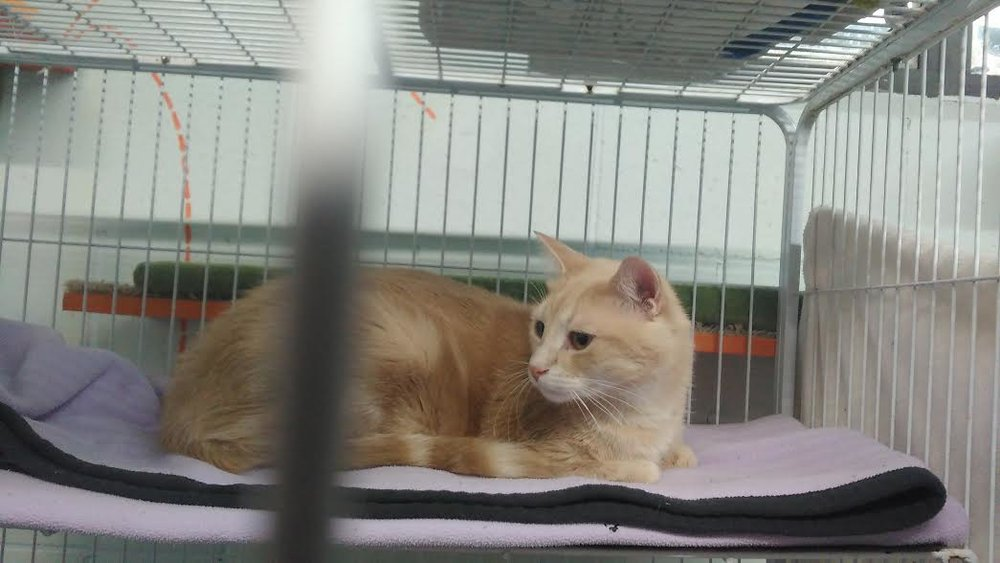 Simba: a 1 year old, neutered male who was recently surrendered because his owner had health problems. He's definitely a new favourite of mine: he's sooo adroable, has a ton of energy, and loves to chase laser-lights! I bet he'll be adopted in no time. Update Wed, Jan. 11th: he has been adopted!