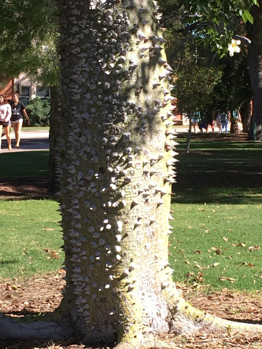 This is the conicle-covered trunk of the silk floss tree at the northeast corner of Park Avenue and Fourth Street on campus. The green trunk means this is a relatively young tree. When it ages, the trunk turns gray, according to the web site of the UA Arboretum. There's an older tree on the south side of the engineering building.