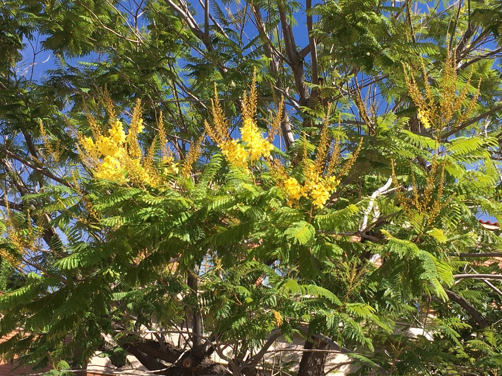 The Palo de Picho tree, a native of Central America, is also in bloom on campus right now.